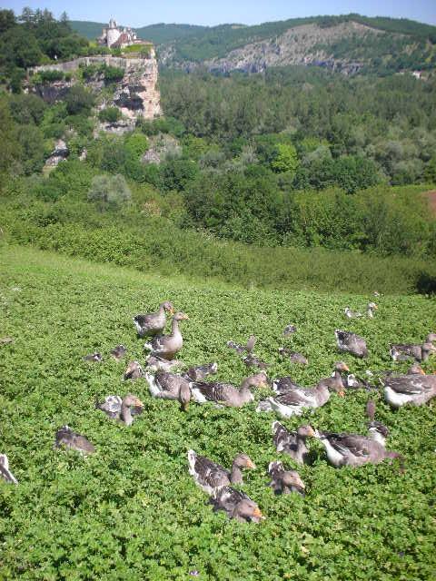 Dordogne%20fois%20grois%20geese%20and%20castle.jpg